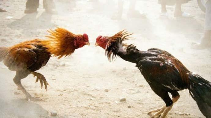 Penjudi Sabung Ayam di Sidoarjo Ditangkap Lalu Dikarantina Covid ...